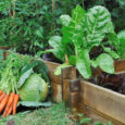 vegetables in a patch