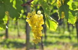 dja_raisin-blanc-grappe_istock